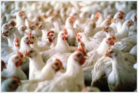 bird flu free